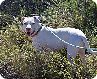 American Staffordshire Terrier Mix Dog for adoption in Sierra Vista, Arizona - Willa
