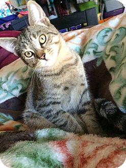Domestic Shorthair Kitten for adoption in Lindsay, Ontario - Mr Smee