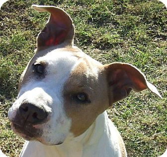 Pit Bull Terrier Mix Puppy for adoption in Watauga, Texas - Layla