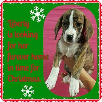Beagle Mix Puppy for adoption in Hawk Point, Missouri - Liberty