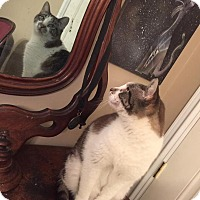 Siamese Cat for adoption in South Bend, Indiana - Hans Solo