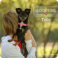 Adopt A Pet :: Tulip - Pearland, TX