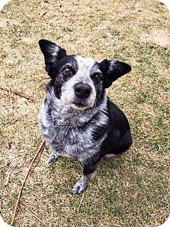 Australian Cattle Dog/Australian Shepherd Mix Dog for adoption in Boise, Idaho - Molly