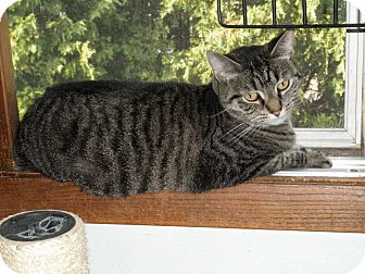 Domestic Shorthair Cat for adoption in Milwaukee, Wisconsin - Cheyenne-IN FOSTER CARE