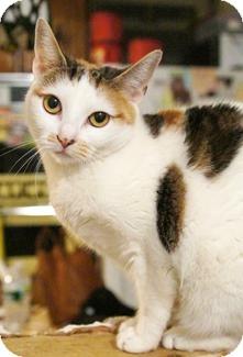 Domestic Shorthair Cat for adoption in Medford, Massachusetts - Sydney