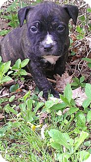 American Pit Bull Terrier Mix Puppy for adoption in Roaring Spring, Pennsylvania - Female #2