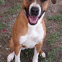 Boxer Mix Dog for adoption in Orland, California - Lola