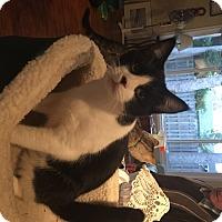 Adopt A Pet :: Oreo - Kelso/Longview, WA