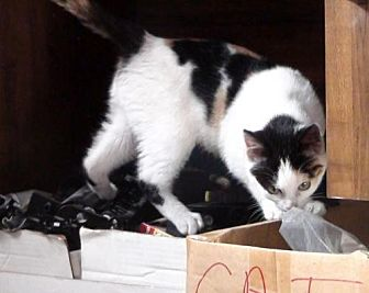 Domestic Shorthair Cat for adoption in Holly Springs, Mississippi - Callie