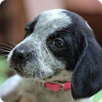 Adopt A Pet :: Olive - Fredericksburg, VA