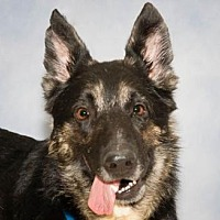 German Shepherd Dog Dog for adoption in Newport Beach, California - Barney Fife