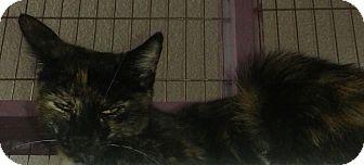Domestic Shorthair Cat for adoption in Whittier, California - Jessie