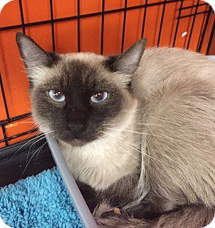 Balinese Cat for adoption in Cerritos, California - Pippa