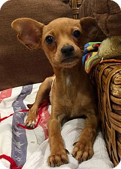 Jack Russell Terrier/Dachshund Mix Puppy for adoption in Santa Ana, California - Stitch