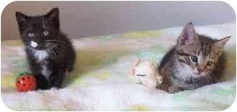 Domestic Shorthair Kitten for adoption in cincinnati, Ohio - Sally's kittens