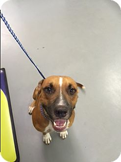 Catahoula Leopard Dog/Black Mouth Cur Mix Dog for adoption in Wilwaukee, Wisconsin - A - GUS