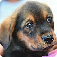 Adopt A Pet :: Petra 💜 ADOPTED! - Brattleboro, VT