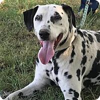 Adopt A Pet :: Pinto Bean - Turlock, CA