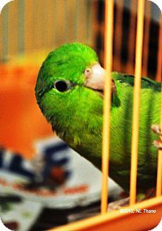Parrotlet for adoption in Lenexa, Kansas - Sweet Pea