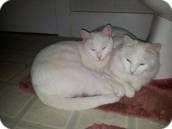 Domestic Mediumhair Cat for adoption in Norwich, New York - Ghost and Cloud