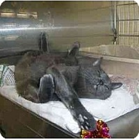 Adopt A Pet :: Misty - New Port Richey, FL