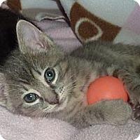 Adopt A Pet :: Adopt purry Princess Alexandra - Stanford, CA