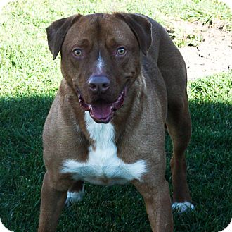 Pit Bull Terrier Mix Dog for adoption in Stockton, California - Charlie