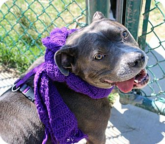 American Staffordshire Terrier/American Pit Bull Terrier Mix Dog for adoption in Troy, Michigan - China