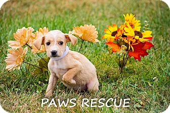 Labrador Retriever Mix Puppy for adoption in Forest Hill, Maryland - Gidget