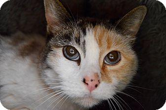 Domestic Shorthair Cat for adoption in Buena Vista, Colorado - Topanga