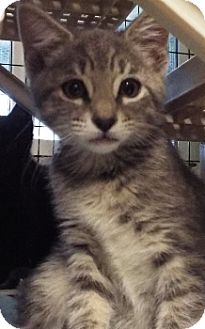 Domestic Shorthair Kitten for adoption in Grants Pass, Oregon - Soda