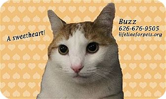 Domestic Shorthair Cat for adoption in Monrovia, California - BUZZ