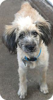 Saluki/Wheaten Terrier Mix Dog for adoption in Norwalk, Connecticut - Wendover - MEET ME