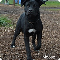 Adopt A Pet :: Moose - Yreka, CA