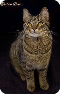 Domestic Mediumhair Kitten for adoption in Washburn, Wisconsin - Teddy Bear