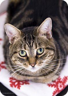 Domestic Shorthair Cat for adoption in El Cajon, California - Zena