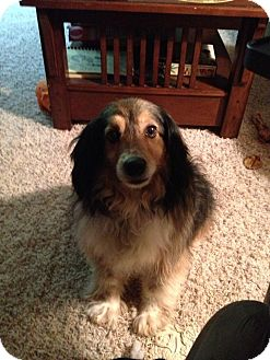 Sheltie, Shetland Sheepdog Mix Dog for adoption in Laingsburg, Michigan - Boo Boo