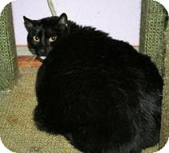 Domestic Shorthair Cat for adoption in Marietta, Georgia - Francois