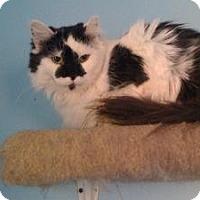 Domestic Longhair Cat for adoption in East Stroudsburg, Pennsylvania - Sara