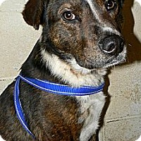 Australian Shepherd/Border Collie Mix Dog for adoption in Converse, Texas - Haywire