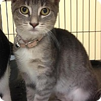 Domestic Shorthair Cat for adoption in Miami, Florida - Sparks