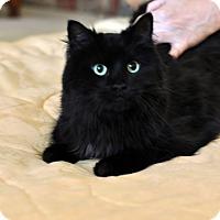 Domestic Longhair Cat for adoption in Apex, North Carolina - Pepper