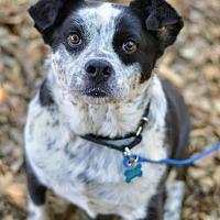 Adopt A Pet :: Achilles - Milpitas, CA