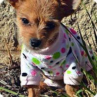 Adopt A Pet :: Bitsy-Adoption pending - Bridgeton, MO