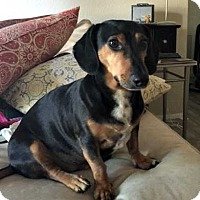 Dachshund Dog for adoption in Forest Ranch, California - Sid