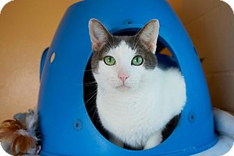 Domestic Shorthair Cat for adoption in Coronado, California - Wallace