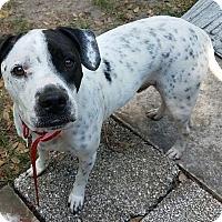 Adopt A Pet :: Banjo - Tampa, FL
