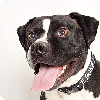 Pit Bull Terrier Mix Dog for adoption in Columbus, Ohio - Sully