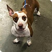 Adopt A Pet :: Krissy - Kalamazoo, MI