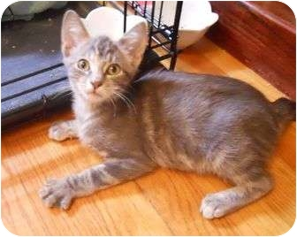 Domestic Shorthair Cat for adoption in St. Louis, Missouri - Ophelia